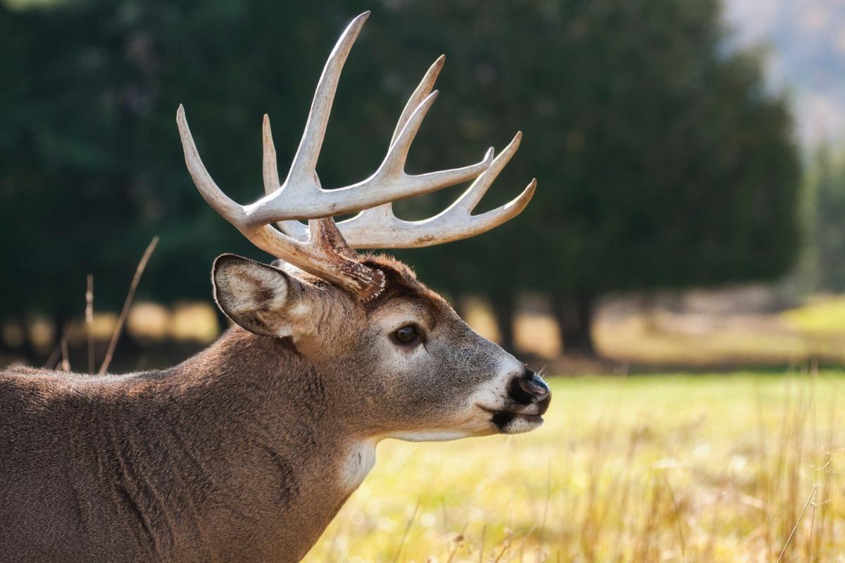 A deer in a field.